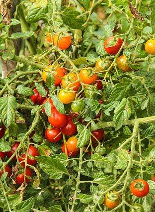 tomaten_pflanze